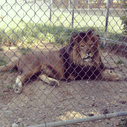Visiting a zoo with a lion, like Space Farms Zoo, is a great way to get excited for Disney!