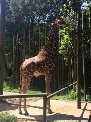 Audubon Giraffe