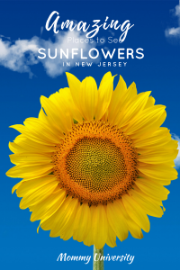 Amazing Sunflowers in New Jersey