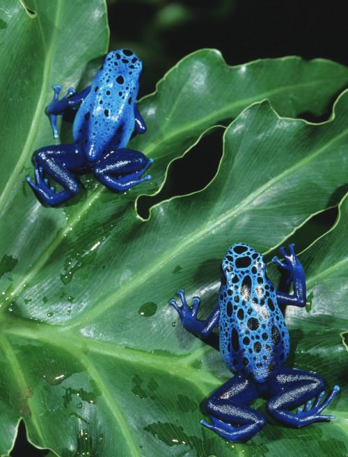 bluepoisondartfrogsoriginal