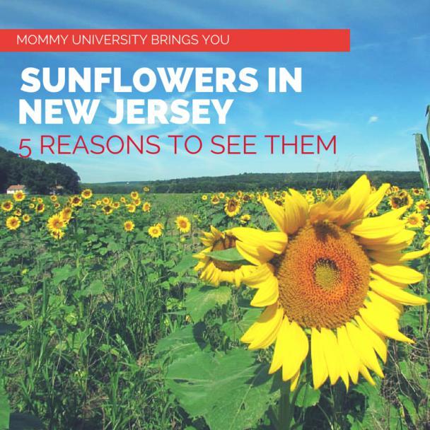 landscapes of jersey sunflower landscapes