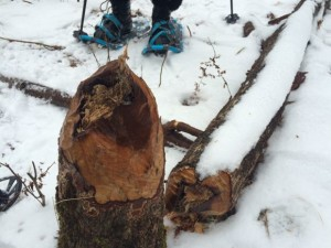 On the Beaver Snowshoe Trek, I was able to see firsthand what a beaver can do!