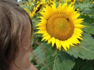 Andersen Sunflower Maze