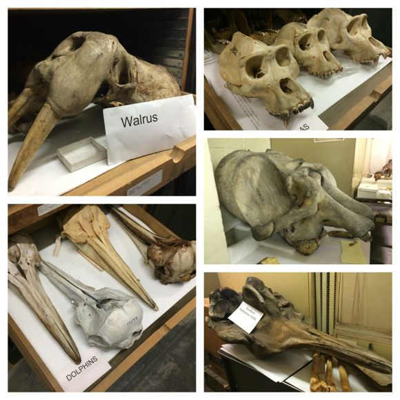Academy Mammalogy Skeletons