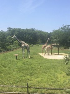 Giraffes at Cape May Zoo