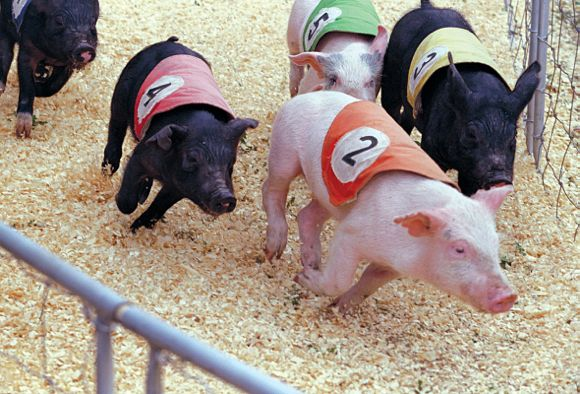 State Fair PIg Races
