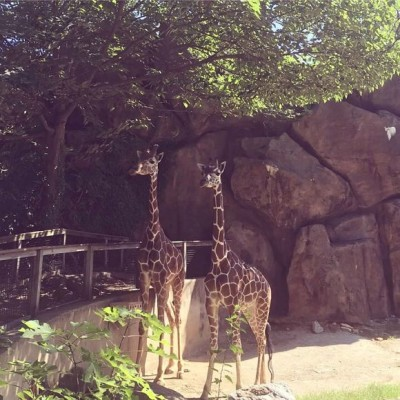 giraffes-at-philly-zoo