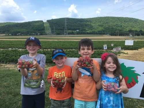 Strawberry Picking at Donaldson Farms