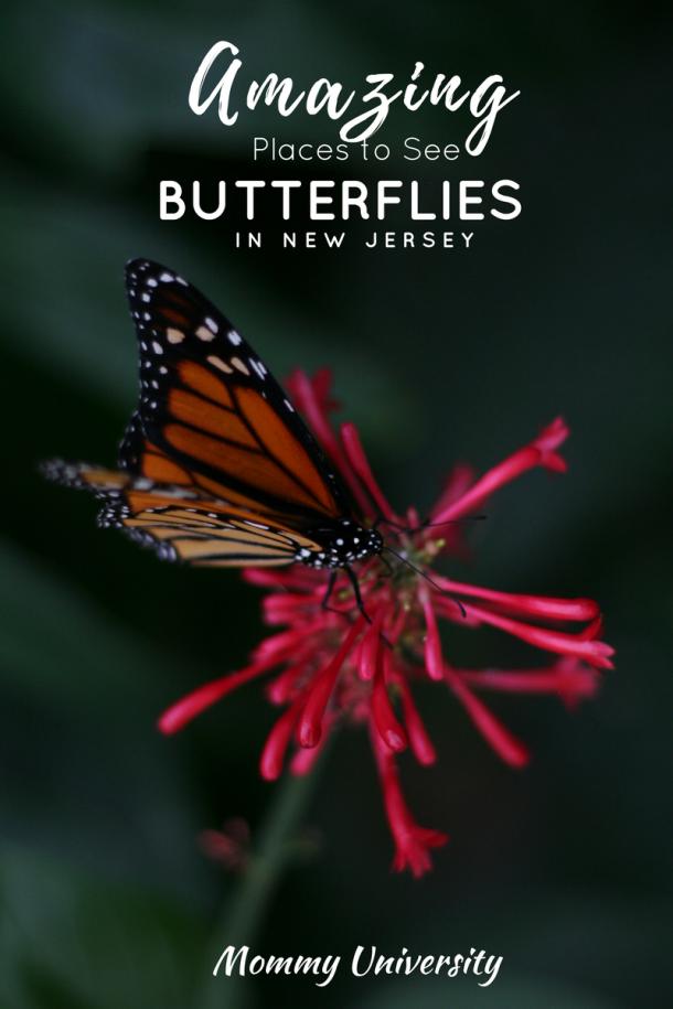 Amazing Butterflies in New Jersey