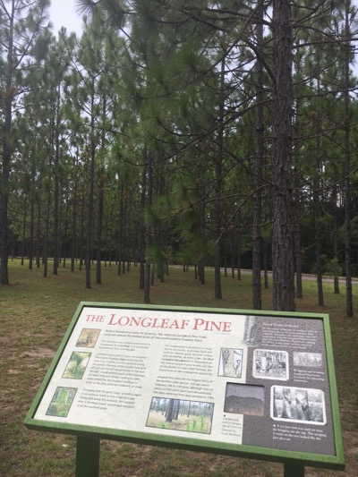 Longleaf Pines at Brookgreen Gardens