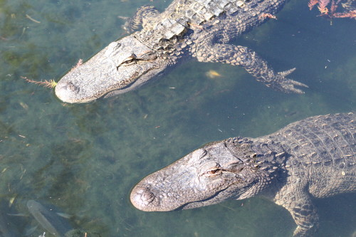 Alligator Adventure in Myrtle Beach