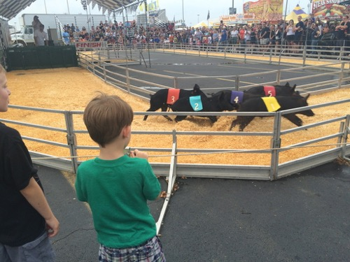 Pig Race at State Fair Meadowlands