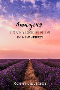 Amazing Lavender Fields in New Jersey