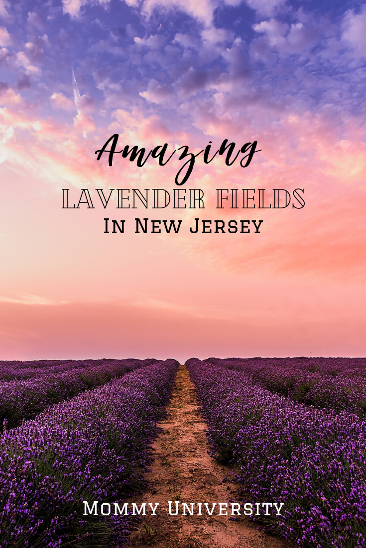 Amazing Lavender Fields in New Jersey